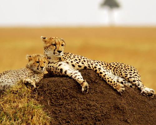 Tanzania-8-days-luxury-cheetah