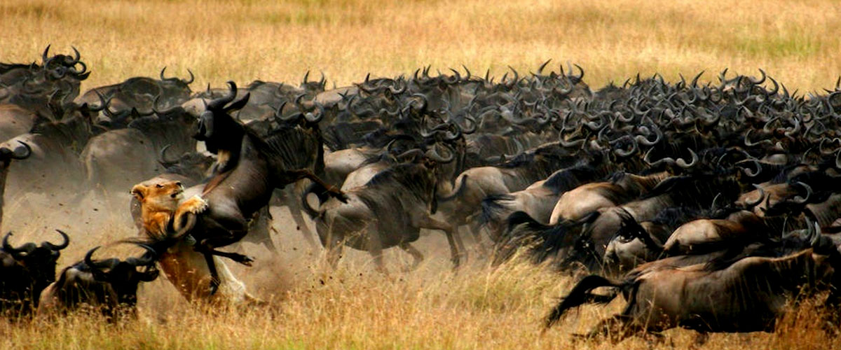 migration-wildebeest-safari